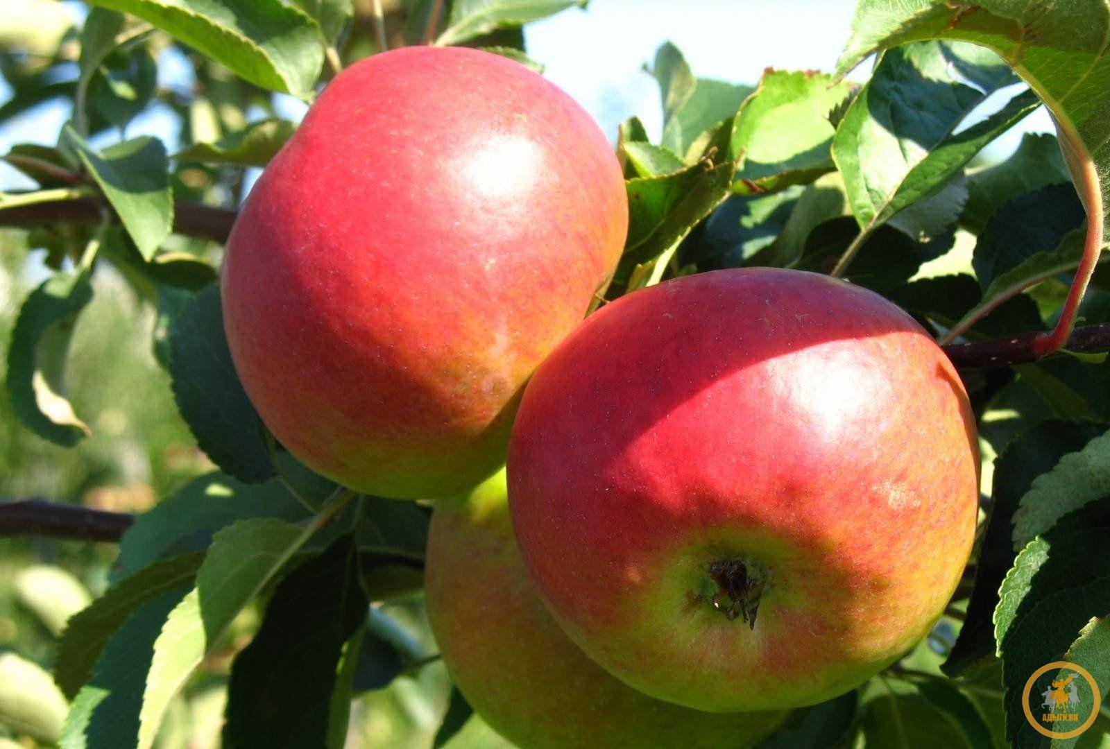 Яблоня восточная