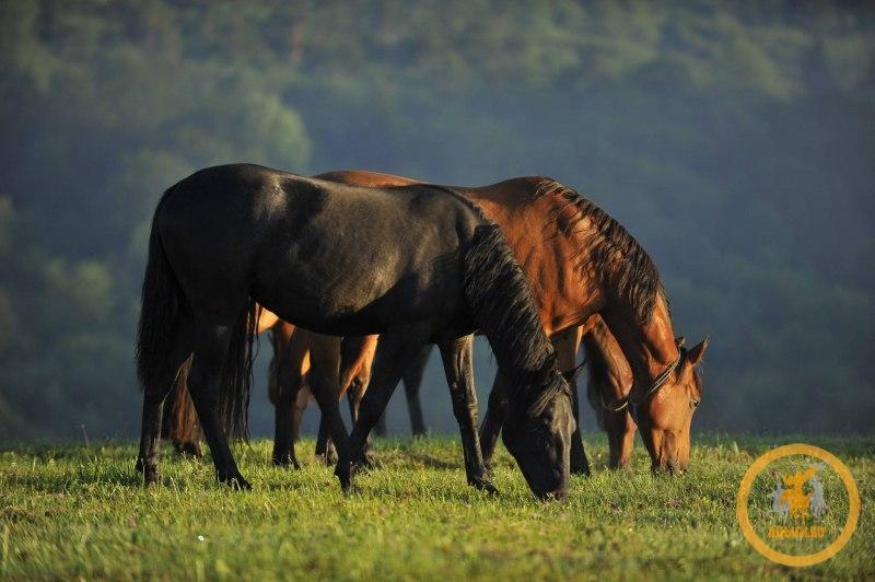 Хан-Гирей о коневодстве в Черкесии