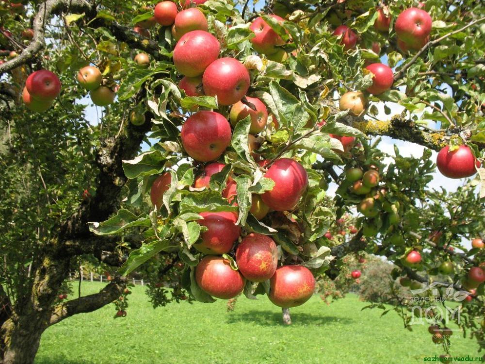 Плодовые деревья у черкесов, символ вечного продолжения жизни