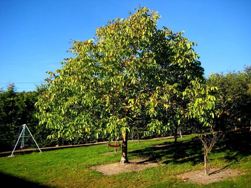 Ореховое дерево приносит вред мужчинам семейства